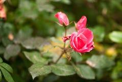 Makrofoto einer genle rosafarbenen Blume mit Wasser lässt im Frühjahr Tag fallen Makroschuß des selektiven Fokus mit flachem DOF Stockfotografie