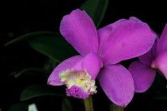 Makrofoto einer purpurroten Orchideenblume Stockfoto