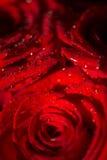 Makrofoto einer Rose mit Wassertröpfchen Lizenzfreie Stockfotos