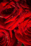 Makrofoto einer Rose mit Wassertröpfchen Lizenzfreies Stockfoto