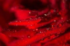 Makrofoto einer Rose mit Wassertröpfchen Stockfotos