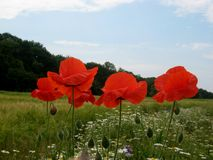 Makrofoto einer schönen roten Mohnblume auf Sommerfeldhintergrund der ländlichen Landschaft Lizenzfreie Stockfotografie