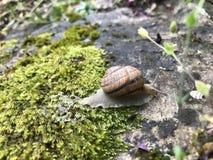 Makrofoto einer Schnecke, die auf einen Stein kriecht, bedeckte mit Moos und hinterlässt eine Spur des Schlamms lizenzfreie stockfotos