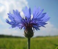 Makrofoto einer wilden Blume des schönen blauen Feldes der Kornblume Stockfotografie