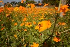 Makrofoto eines Bienenabschlusses oben, starburst blühen Blattfeldhintergrundgrasblumennaturjahreszeit-Gartenpark des Sommers gel stockbild
