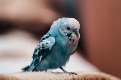 Makrofoto eines Papageien Stockfotografie