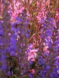 Makrofoto eines Spitze ähnlichen Blütenstands der rosa Blumen von Gaura-lindheimeri ` Geysir-Rosa ` verwischte den Vordergrund un Lizenzfreies Stockbild