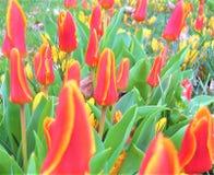 Makrofoto med ett fält av blommatulpan med röda kronblad Royaltyfria Bilder