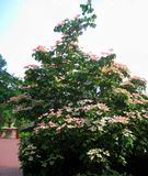 Makrofoto med härlig sommar för landskapbakgrund som blommar dekorativa träd Royaltyfri Fotografi
