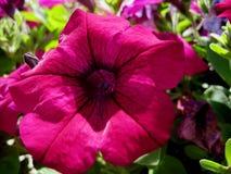Makrofoto med ljusa härliga blommor av petunian för att landskap Arkivfoto