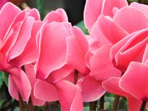Makrofoto mit dekorativem Hintergrund masert schöne empfindliche rosa Blumenblattalpenveilchenblumen Lizenzfreies Stockbild