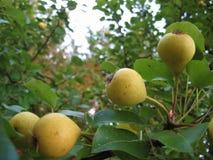 Makrofoto mit dekorativem Hintergrund von nützlichem, essbare Früchte von Birnenbaumanlagen für das Wachsen reifend in den Gärten lizenzfreie stockfotos