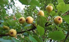 Makrofoto mit dekorativem Hintergrund von nützlichem, essbare Früchte von Birnenbaumanlagen für das Wachsen reifend in den Gärten lizenzfreie stockbilder