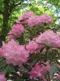 Makrofoto mit dekorativem Hintergrund von schönen rosa Blumen des Rhododendronstrauchs während des Frühlingsblühens stockfoto