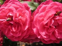 Makrofoto mit dekorativem Hintergrund von schönen rosafarbenen Blumen mit den Blumenblättern des rosa Schattens der Farbe mit zwe Lizenzfreie Stockbilder