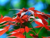 Makrofoto mit der dekorativen hellen Hintergrundbeschaffenheit des Rotes geschnitzt verlässt auf einer Ahornbaumniederlassung Stockbilder