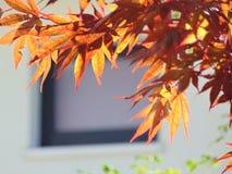 Makrofoto mit der dekorativen hellen Hintergrundbeschaffenheit des Rotes geschnitzt verlässt auf einer Ahornbaumniederlassung Stockfotografie