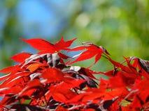 Makrofoto mit der dekorativen hellen Hintergrundbeschaffenheit des Rotes geschnitzt verlässt auf einer Ahornbaumniederlassung Stockbild