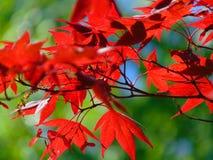 Makrofoto mit der dekorativen hellen Hintergrundbeschaffenheit des Rotes geschnitzt verlässt auf einer Ahornbaumniederlassung Lizenzfreie Stockbilder