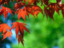 Makrofoto mit der dekorativen hellen Hintergrundbeschaffenheit des Rotes geschnitzt verlässt auf einer Ahornbaumniederlassung Stockfotos