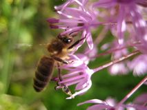 Makrofoto mit einem dekorativen cyathophorum Lauch der blühenden Pflanze und einer Biene, die Honignektar sammeln Lizenzfreie Stockfotografie