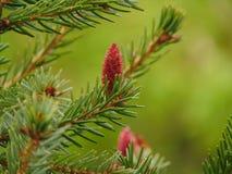 Makrofoto mit einem dekorativen Hintergrund des Waldbaumastbaums mit grünen Nadeln und jungen Kegeln Lizenzfreie Stockfotos