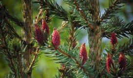 Makrofoto mit einem dekorativen Hintergrund des Waldbaumastbaums mit grünen Nadeln und jungen Kegeln Stockfotos