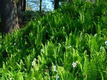 Makrofoto mit einem dekorativen Hintergrund von grünen Farnen der krautigen Pflanzen und von Blumennarzissen Stockfotos