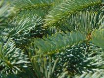 Makrofoto mit einem dekorativen Hintergrund von grünen Nadelbaumasten Stockfotos