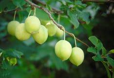 Makrofoto mit einem dekorativen Hintergrund von jungen reifenden Früchten auf einer Niederlassung einer gelben Pflaumenbaumanlage lizenzfreie stockfotos