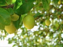 Makrofoto mit einem dekorativen Hintergrund von jungen reifenden Früchten auf einer Niederlassung einer gelben Pflaumenbaumanlage stockbild