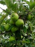 Makrofoto mit einem Hintergrund einer reichlichen Ernte der grünen Äpfel die wilden Apfelbäume Stockfotografie