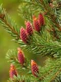 Makrofoto mit einem natürlichen Hintergrund von jungen Fruchtkegeln mit Tröpfchen von wilden gezierten Bäumen des Harzsafts Stockbilder