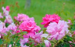 Makrofoto mit einem schönen empfindlichen Spray des dekorativen Beschaffenheitshintergrund-Gartens von Blumenrosen Stockfoto