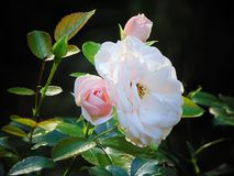 Makrofoto mit einer schönen Gruppe der dekorativen Hintergrundbeschaffenheit von rosafarbenen Blumen Lizenzfreie Stockfotografie