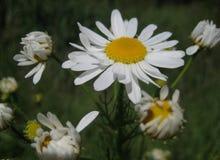 Makrofoto mit Heilpflanzen eines natürlichen Hintergrundes blüht wilde Gänseblümchen stockbilder