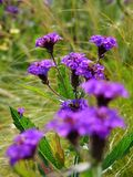 Makrofoto mit krautartigen Zierpflanzen einer dekorativen Hintergrundbeschaffenheit mit hellem purpurrotem Schatten der Blumen de Lizenzfreies Stockfoto