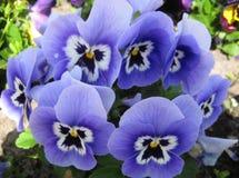 Makrofoto mit schönem empfindlichem Blumen VÃola-trÃcolor Drogenzweck Lizenzfreie Stockfotografie
