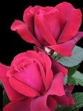 Makrofoto mit schönen Blumenrosen eines dekorativen Hintergrundes mit dunkelrotem Schatten der Samtblumenblätter der Farbe Lizenzfreies Stockbild