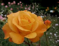 Makrofoto mit schöner Blume rollte Rosen mit den empfindlichen cremefarbenen Blumenblättern stockfotografie