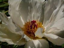 Makrofoto mit schöner dekorativer großer Blumen Pfingstrose schnitzte mit den weißen flaumigen Blumenblättern Stockbild