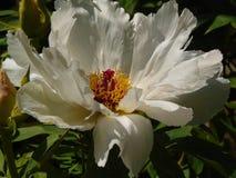 Makrofoto mit schöner dekorativer großer Blumen Pfingstrose schnitzte mit den weißen flaumigen Blumenblättern Lizenzfreie Stockbilder
