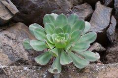 Makrofoto saftigen Aeonium arboreum Schlafzimmerkohl Lizenzfreie Stockfotos