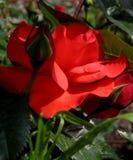Makrofoto schöne rote Rose - Symbol der Liebe Lizenzfreie Stockfotografie