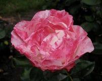 Makrofoto schöner Rosen-Blume mit den rosa Blumenblättern in einer dunkelgrünen Landschaft des botanischen Gartens Lizenzfreies Stockbild