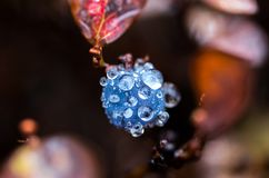 Makrofoto von Blaubeeren Blaubeeren im Tau Herbstfoto von Blaubeeren Vaccinium myrtillus L Lizenzfreie Stockbilder