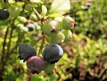 Makrofoto von großen jungen Beeren von Amelanchier, laubwechselnde dekorative Sträuche, Lizenzfreies Stockbild