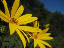 Makrofoto von hellen wilde Blumen gelben Gänseblümchen auf einem unscharfen Hintergrund der grünen Vegetation Stockfotografie