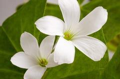 Makrofoto von kleinen weißen Blumen Stockfotografie