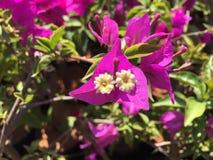Makrofoto von mehrfarbigen Blättern des Bouganvillas Stockfotografie